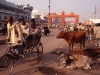 indien-gorakhpur-strassenszene-kuehe