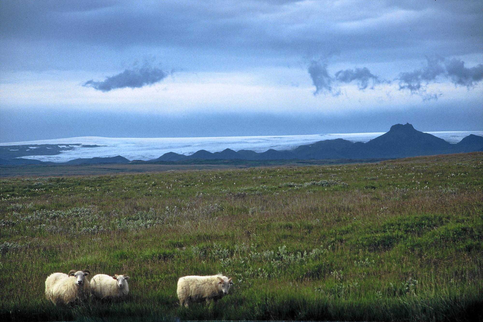 island-schafe-gletscher-small