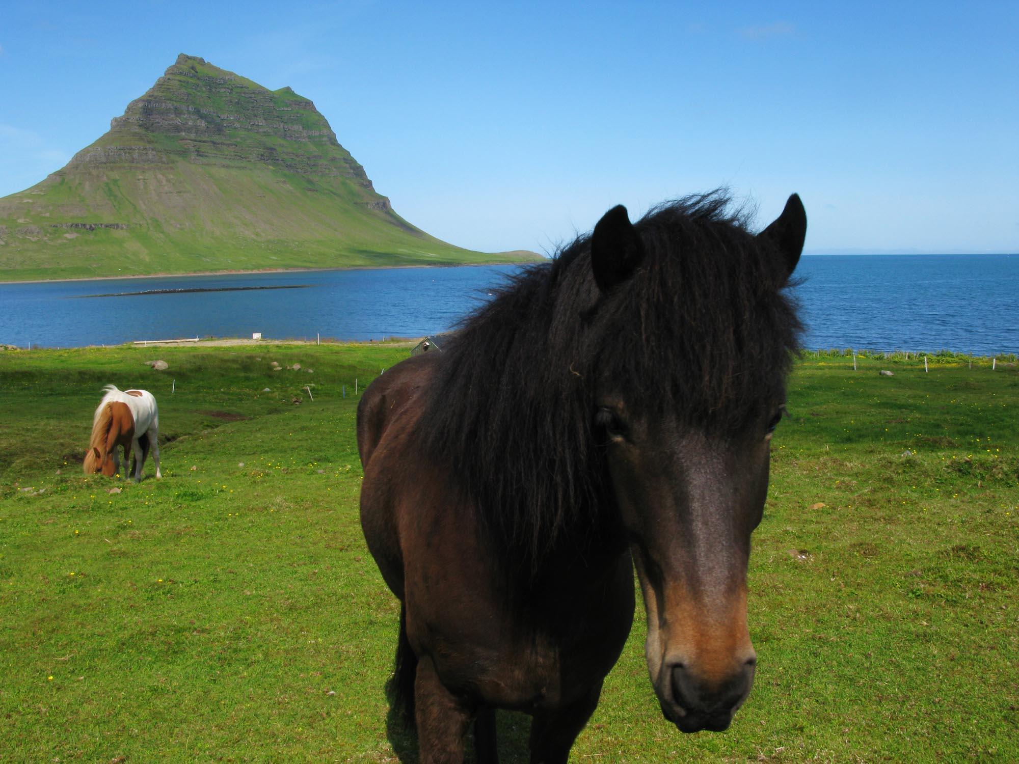 island-pferd-small