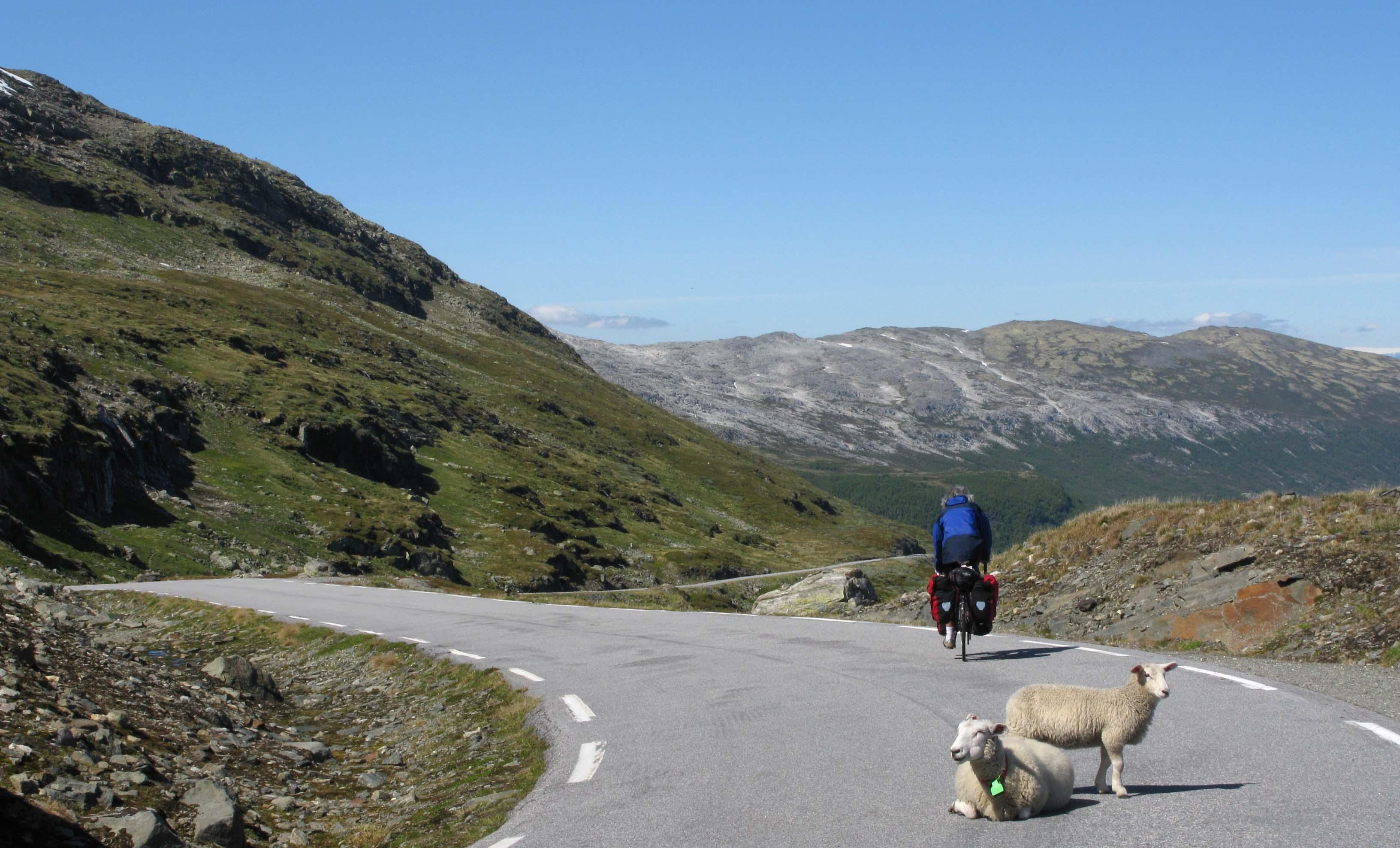norwegen-abfahrt-schafe-auf-strasse